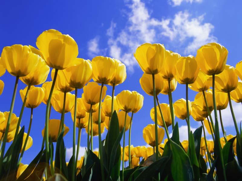 Windows XP Desktop Wallpaper: ‡Œ‹Tulips.