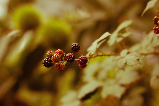 Ripe Blackberries on vine