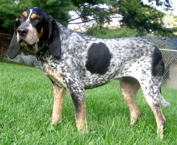 Juno, the Bluetick coonhound