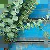 Tjooze - Eucalyptus