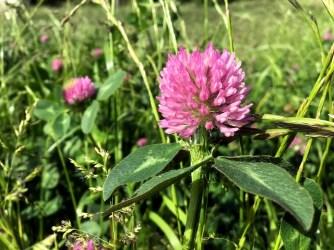 Trifolium pratense - Rödklöver