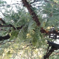 Native Arizona Mesquite Trees - growing tips - disease - Velvet mesquite trees, The Tree of Life