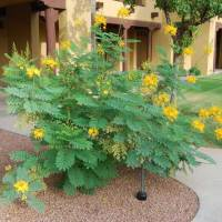 Yellow flowering bush with round leaves - native Mexican plants