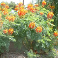Bushes with Red, Orange and Yellow Flowers in Arizona - Red Bird of Paradise,  Caesalpinia pulcherrima