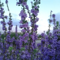 The Texas Ranger Sage shrub - bushes with purple or white flowers