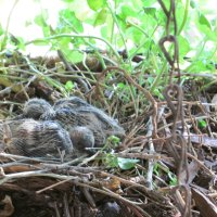 Mourning Dove eggs are hatching, dove eggs incubation period, feeding baby doves - Part 1