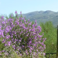 Sage bushes with Purple Flowers bring life to the desert!