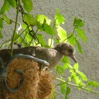 The difference between male and female mourning doves - Baby doves 17 days old - Part 4