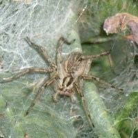 What kind of spider makes a tunnel web - funnel web spiders in Arizona