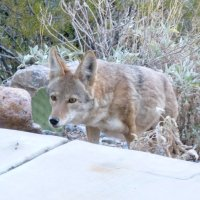 Coyotes in Arizona - Desert photos