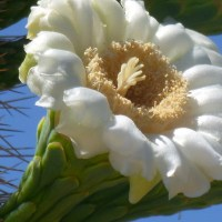 When do the Saguaro Cactus flowers bloom?