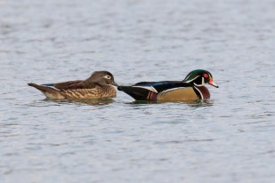 Wood Duck - Town Lake