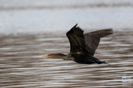 Double-crested Cormorant - Town Lake