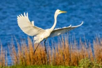 Great Egret - ANWR