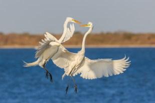 Great Egret Fight