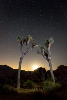 Kissing Joshua Trees