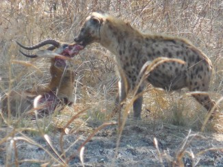 And another rare sighting! I had the BEST luck this week with the amount I got to experience. We stumbled on this hyena who had stolen a leopard's kill, an impala, while the leopard just watched on. Vultures also got in on the action.