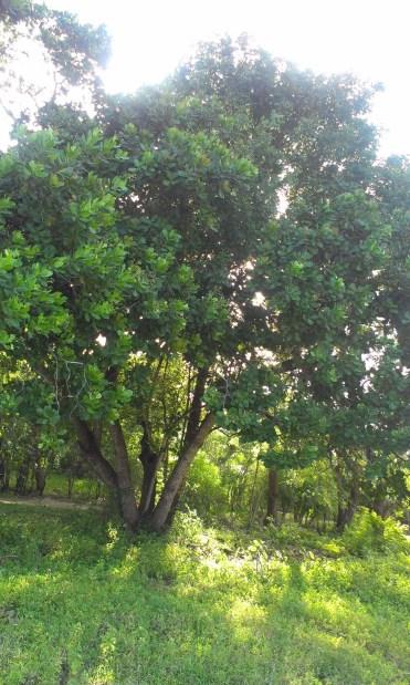 Projektové aktivity pestovateľov združia a vyškolia v pestovaní a spracovaní orechov v súlade s kritériami Fair Trade a BIO, na základe čoho im bude udelený certifikát o spôsobilosti. Na záber strom kešu.