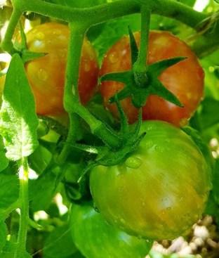 Tomatoes | Photo by Jamirah G.