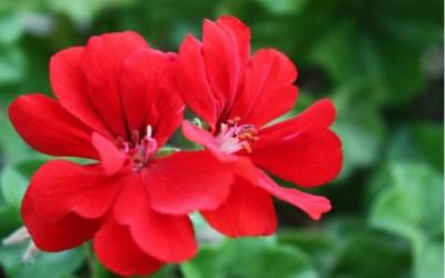 Geraniums for Pentecost