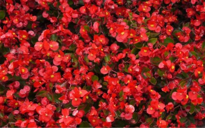 Red Flowers for Pentecost
