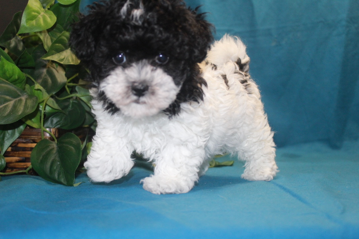 Maltipoo tlc puppy love for Old black and white photos for sale