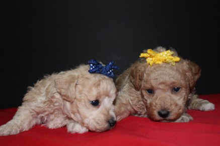 2 Ladies Poodles 3W4D OLD 008