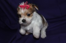 Lucy Female CKC Morkie Ready Feb 23rd $1500 HAS DEPOSIT!
