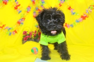 Coco Puff Male CKC Morkipoo Ready March 21st $1500 Just Discounted $1250 SOLD