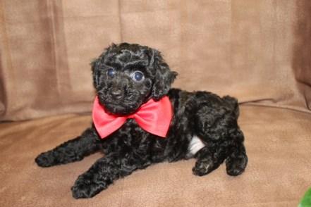 Mozart Male CKC Poodle $1250 Ready 8/30 SOLD