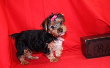 Mitz Female CKC Yorkie $1500 Discounted $999 Ready 8/13 SOLD