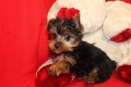 DASH Male CKC Yorkie$1750 Special $1500 SOLD