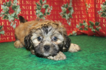 Toby Male CKC Shorkipoo $1250 Ready 12/14 SOLD MY NEW HOME IS ORANGE PARK, FL