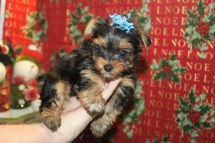 Sugar Plum Female T-CUP Yorkie $1750 Ready 12/24 SOLD NEW HOME IS ORANGE PARK, FL