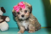Lady Female CKC Shorkie $1750 Ready 2/22 EASTER SPECIAL $1500 SOLD MY NEW HOME JACKSONVILLE, FL