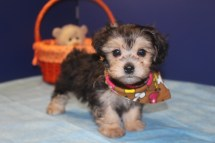 Cuddles Male CKC Morkipoo $2000 Ready 4/16 SOLD MY NEW HOME IS ORANGE PARK, FL