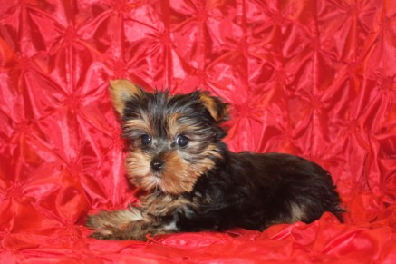 Picasso Male CKC T-cup Yorkie $2000 Red 2/10 AVAILABLE