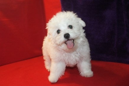 Sold Maestro Male CKC Maltese $1750 ON SPECIAL $1250 Ready 5/13 He has all his vaccines including rabies completed SOLD MY NEW HOME JAX. FL