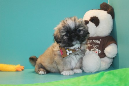 Bear Male Imperial CKC Shih Tzu $1750 Easter Special $1500 Ready 3/18 SOLD MY NEW HOME FERNANDINA, FL