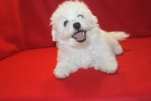 Maestro Male CKC Maltese $1750 ON SPECIAL $1250 He has all his vaccines including rabies completed Ready 5/13 SOLD MY NEW HOME JAX. FL