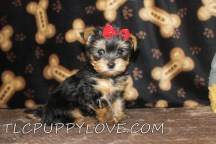 Fiesta Female CKC T-Cup Yorkie $2000 Ready 8/21 SOLD MY NEW HOME JACKSONVILLE, FL