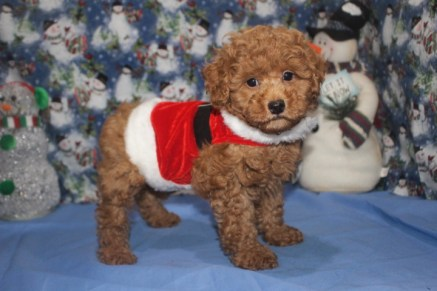 Lancelot Red Male CKC Poodle $2000 Ready 11/18 SOLD MY NEW HOME JAX