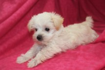 Molly Female CKC Morkipoo $1750 Ready 11/11 SOLD MY NEW HOME TAMPA, FL