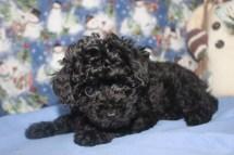 Ladybug Female CKC Poodle $1750 Ready 11/18 SOLD MY NEW HOME JACKSONVILLE, FL