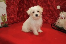 Mac Male CKC Morkipoo $1750 BUT WAIT SPECIAL $750 Ready 11/11 SOLD MY NEW HOME JAX FL