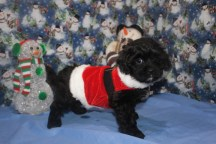 Bandit Male CKC Malshipoo $1750 BUT WAIT SPECIAL $1500 Ready 11/25SOLD MY NEW HOME MONTICELLO, FL
