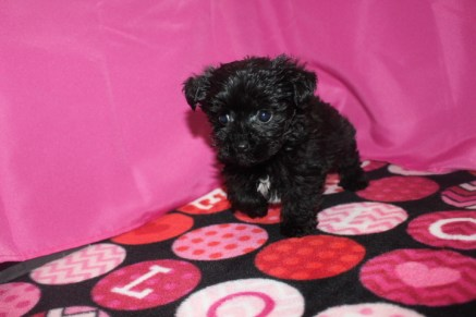 Boppity Male CKC Morkipoo $1750 Ready 1/20 SOLD MY NEW HOME JOHNSTON, IA