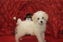 Snowball Male CKC Poodle $1750 BUT WAIT CHRISTMAS SPECIAL $1500 READY NOW SOLD MY NEW HOME JAX, FL