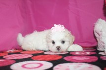 Snuggles Female CKC Havashu $1750 Ready 1/22/17 SOLD MY NEW HOME JACKSONVILLE, FL