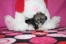 Bibbity Male CKC Morkipoo $2000 Ready 1/20 SOLD MY NEW HOME WARWICK NY